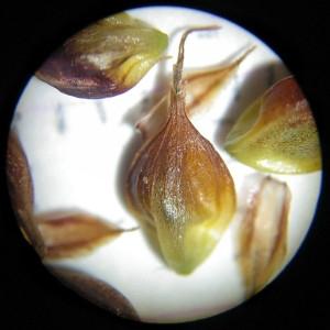 Photographie n°2307226 du taxon Carex binervis Sm.