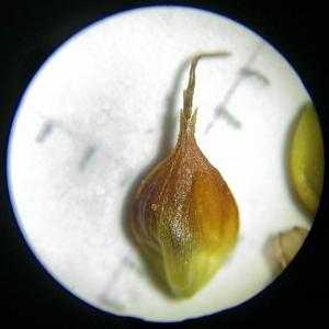 Photographie n°2307227 du taxon Carex binervis Sm.