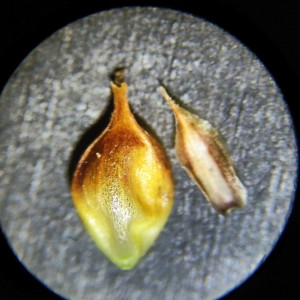 Photographie n°2307228 du taxon Carex binervis Sm.