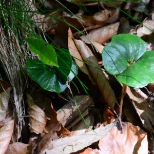 Photographie n°2307395 du taxon Fagus sylvatica L.