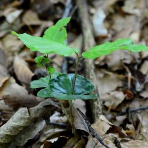 Photographie n°2307396 du taxon Fagus sylvatica L.