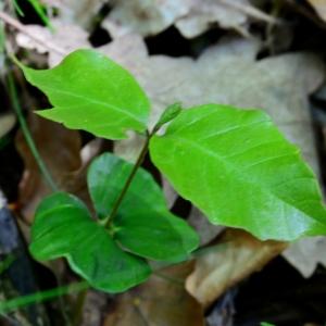 Photographie n°2307398 du taxon Fagus sylvatica L.