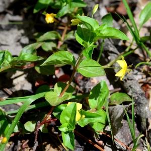 Photographie n°2307401 du taxon Lysimachia nemorum L.