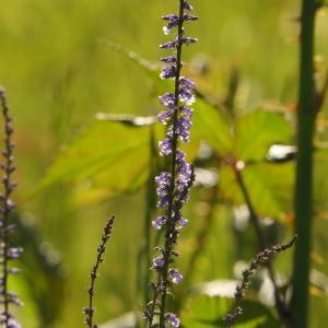 Photographie n°2307436 du taxon Anarrhinum bellidifolium (L.) Willd.