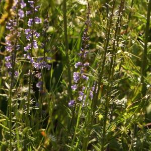 Photographie n°2307439 du taxon Anarrhinum bellidifolium (L.) Willd.