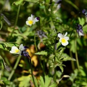 Photographie n°2307522 du taxon Viola arvensis Murray [1770]