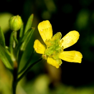 Photographie n°2307524 du taxon Ranunculus arvensis L.