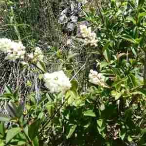 Photographie n°2307624 du taxon Ligustrum vulgare L. [1753]