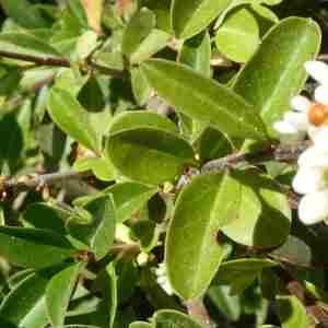 Photographie n°2307626 du taxon Ligustrum vulgare L. [1753]