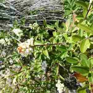 Photographie n°2307627 du taxon Ligustrum vulgare L. [1753]