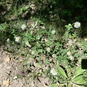 Photographie n°2307641 du taxon Trifolium montanum L. [1753]