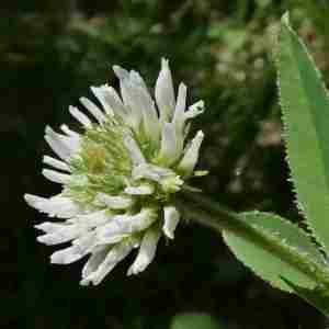 Photographie n°2307643 du taxon Trifolium montanum L. [1753]