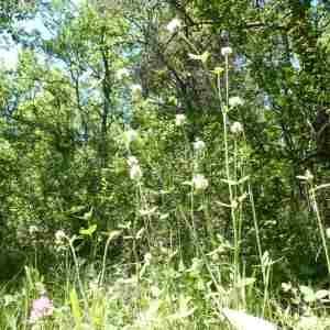 Photographie n°2307644 du taxon Trifolium montanum L. [1753]