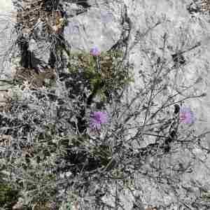 Photographie n°2307653 du taxon Centaurea paniculata L. [1753]