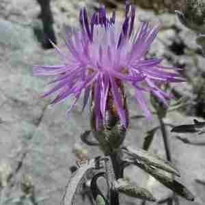 Photographie n°2307654 du taxon Centaurea paniculata L. [1753]