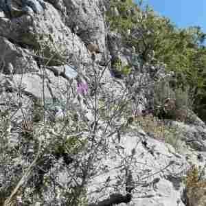 Photographie n°2307657 du taxon Centaurea paniculata L. [1753]