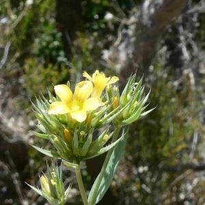 Photographie n°2307687 du taxon Linum strictum L.