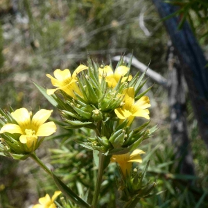 Photographie n°2307688 du taxon Linum strictum L.
