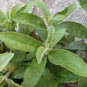 Photographie n°2307745 du taxon Buddléia arbre-aux-papillons