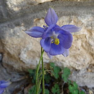 Photographie n°2308125 du taxon Aquilegia viscosa Gouan [1764]