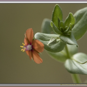 Photographie n°2308170 du taxon Lysimachia arvensis (L.) U.Manns & Anderb. [2009]