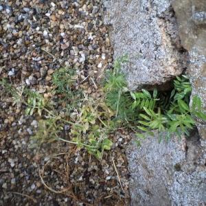 Photographie n°2308177 du taxon Vesce hérissée
