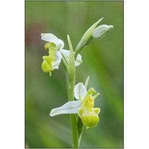Ophrys apifera var. chlorantha (Hegetschw.) Nyman