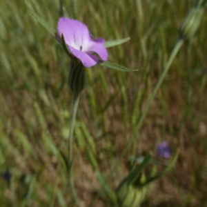 Photographie n°2308360 du taxon Agrostemma githago L. [1753]