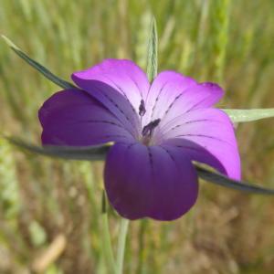Photographie n°2308361 du taxon Agrostemma githago L. [1753]