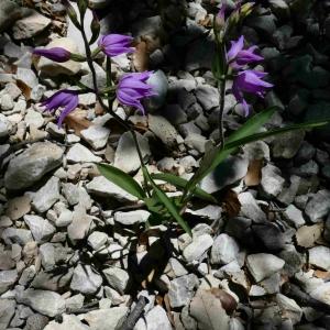 Photographie n°2308411 du taxon Cephalanthera rubra (L.) Rich. [1817]