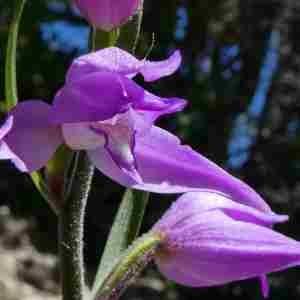 Photographie n°2308412 du taxon Cephalanthera rubra (L.) Rich. [1817]