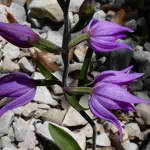 Photographie n°2308414 du taxon Cephalanthera rubra (L.) Rich. [1817]