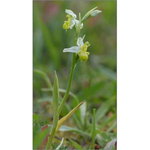 Ophrys apifera var. chlorantha (Hegetschw.) Nyman [1882]