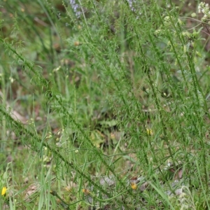 Photographie n°2308471 du taxon Anarrhinum bellidifolium (L.) Willd. [1800]