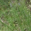 Barbara Mai - Anarrhinum bellidifolium (L.) Willd.