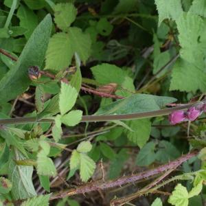 Photographie n°2308584 du taxon Digitalis purpurea L.