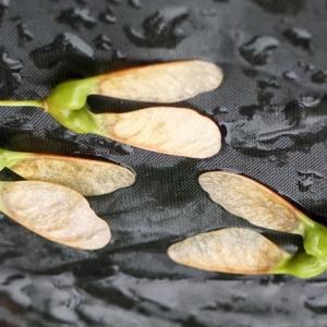 Photographie n°2308722 du taxon Acer monspessulanum L. [1753]