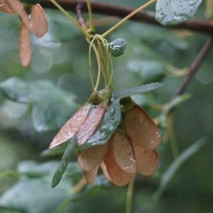 Photographie n°2308727 du taxon Acer monspessulanum L. [1753]