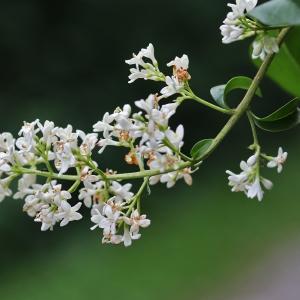 Photographie n°2308801 du taxon Ligustrum vulgare L. [1753]