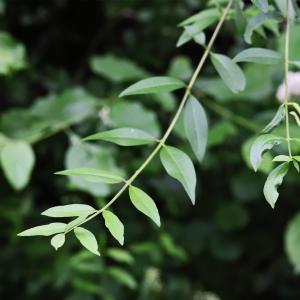 Photographie n°2308804 du taxon Ligustrum vulgare L. [1753]