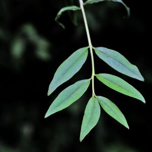 Photographie n°2308805 du taxon Ligustrum vulgare L. [1753]
