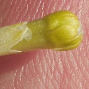 - Caryophyllaceae