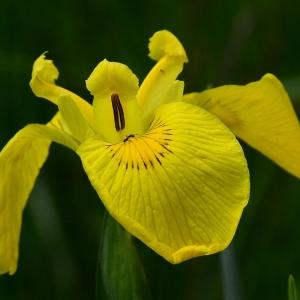 Photographie n°2308903 du taxon Iris pseudacorus L. [1753]