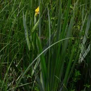Photographie n°2308905 du taxon Iris pseudacorus L. [1753]