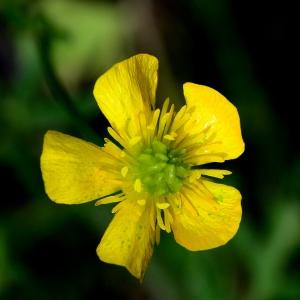 Photographie n°2308966 du taxon Ranunculus bulbosus L. [1753]