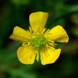 Photographie n°2308967 du taxon Ranunculus bulbosus L. [1753]