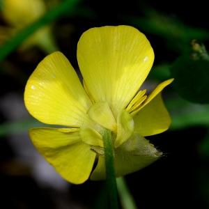 Photographie n°2308968 du taxon Ranunculus bulbosus L. [1753]