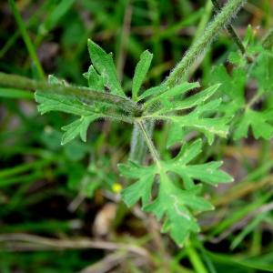 Photographie n°2308969 du taxon Ranunculus bulbosus L. [1753]