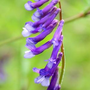 Photographie n°2308983 du taxon Vicia cracca L. [1753]