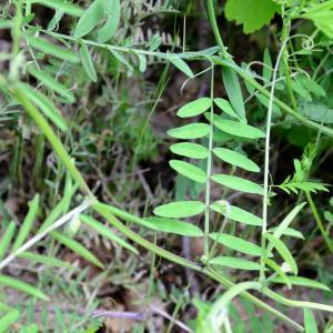 Photographie n°2308985 du taxon Vicia cracca L. [1753]